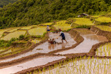 Rice farmers on rice field on terraced in north Thailand, Mae jam, Chiang Mai, Thailand.