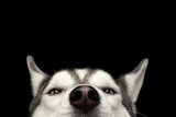 Fototapety Close-up Head of peeking Siberian Husky Dog with blue eyes on Isolated Black Background, Front view