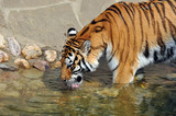 Siberian tiger at the watering