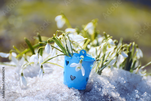snowdrop flower in melting snow. Collected flowers with a small blue bucket angry glade with flowers.  On the backgroundfirst fresh green grass.