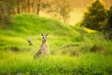 Kangaroos at sunset, hiding in the grass