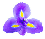 One blue iris flower isolated on white background