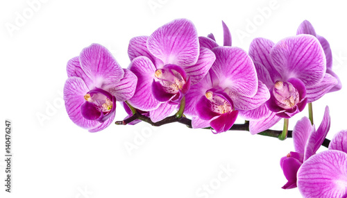 Pink streaked orchid flower, isolated