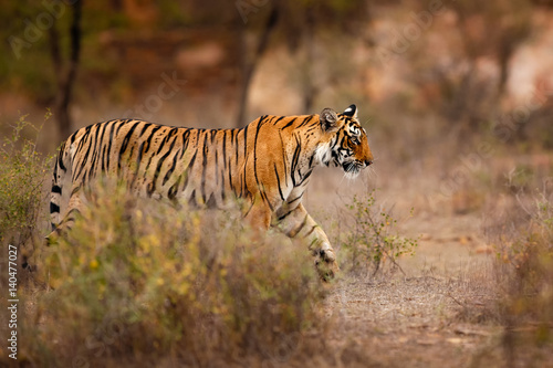 Poster Young tiger female in a beautiful place full of color/wild animal in the nature