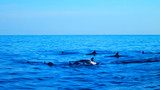 Flock of wild dolphins surfacing in northern Bali waters