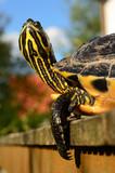 Schildkröte IV