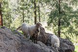 Some sheep in the shade of the trees in the mountains