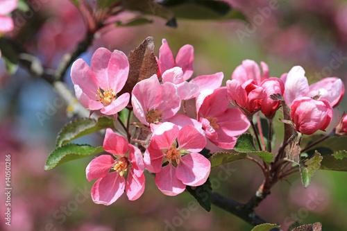 Papiers peints Azalea Pink Apple Tree Flowers at Spring