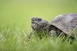 A close up ground level portrait of a Gopher Tortoise walking in bright green grass.