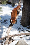 Red panda on the tree in winter