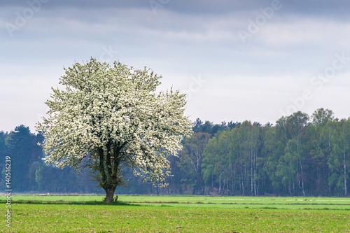 Wiosna, kwitnące drzewo  - 140516239