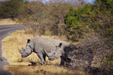 a couple of white rhinos in Kruger Park
