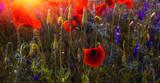 wild flower poppy on the field at sunset.