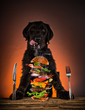 Black dog ready to eat big tasty burger with flying ingredients.