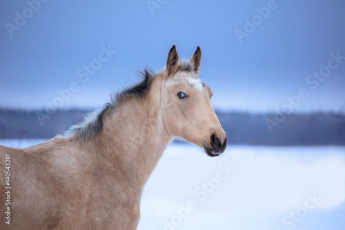 Poster Portrait of palomino horse on winter background
