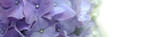 Purple Hydrangea Flower banner on white Background.