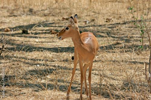 Poster Gazelle in Tansania
