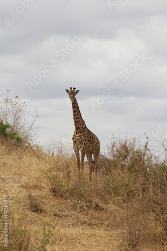 Poster A Lone Giraffe Standing in Tarangire National Park