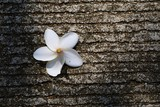 White flower on concrete floor. Falling plumeria flowers on floor