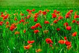 Field of bright red poppy flowers in spring