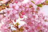 桜の開花イメージ