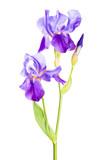 Iris flower_8
