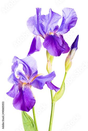 Fotobehang Iris Iris flower_7