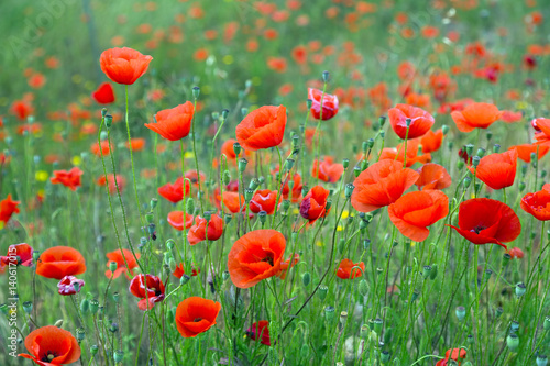 blossoming wild red poppies