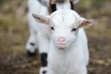 white goat kids standing on pasture - 140640083