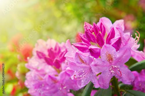 Aluminium Azalea Beautiful pink Rhododendron.