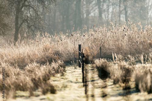 Reed in meadow backlit by sun.