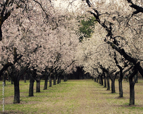 Poster Almond blossom trees