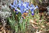 Ein Schmetterling ist auf einer blühenden Zwerg Iris gelandet und findet Nahrung.