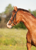 portrait of beautiful welsh pony mare