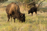 Bison at campground at Theodore Roosevelt Nat'l Park, ND, USA
