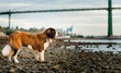 Saint Bernard dog standing on rocky shore with the  Lions Gate Bridge of Vancouver in background