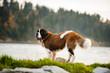 Saint Bernard dog standing on shore of a mountain lake