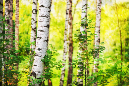 Fotobehang Geel summer in sunny birch forest