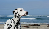 Dalmatian dog head shot against beach and ocean