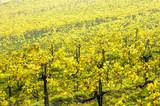 Wachau, herbstlicher Weingarten, Österreich, Niederösterreich,