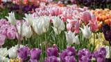 Blumenbeet mit vielen verschiedenen Sorten Tulpen im Sonnenlicht