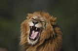 Ruggito di leone maschio