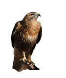 Hawk eagle sitting at the sun isolated at white