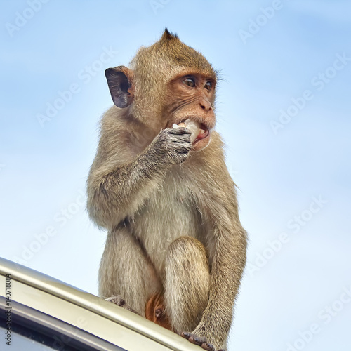 Poster Monkey on the car is eating Thailand