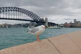 シドニーハーバーブリッジとカモメ