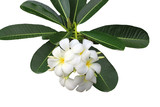 Twig of plumeria on white background