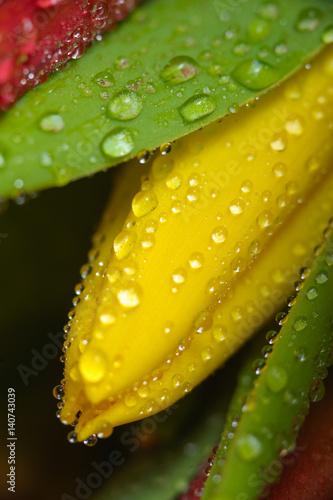 swiezy-zolty-tulipan-z-wodnymi-kroplami-makro-