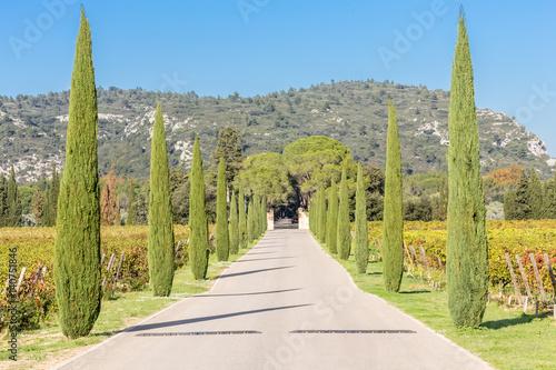 Poster  paysage provençal, allée de cyprès parmi les vignes, domaine viticole