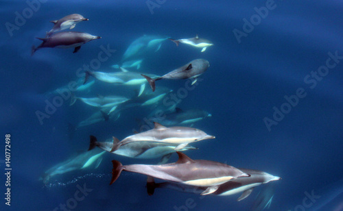 Aluminium Dolfijn Pacific Common Dolphins Swimming Underwater