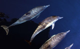 Pacific Common Dolphins Swimming Underwater
